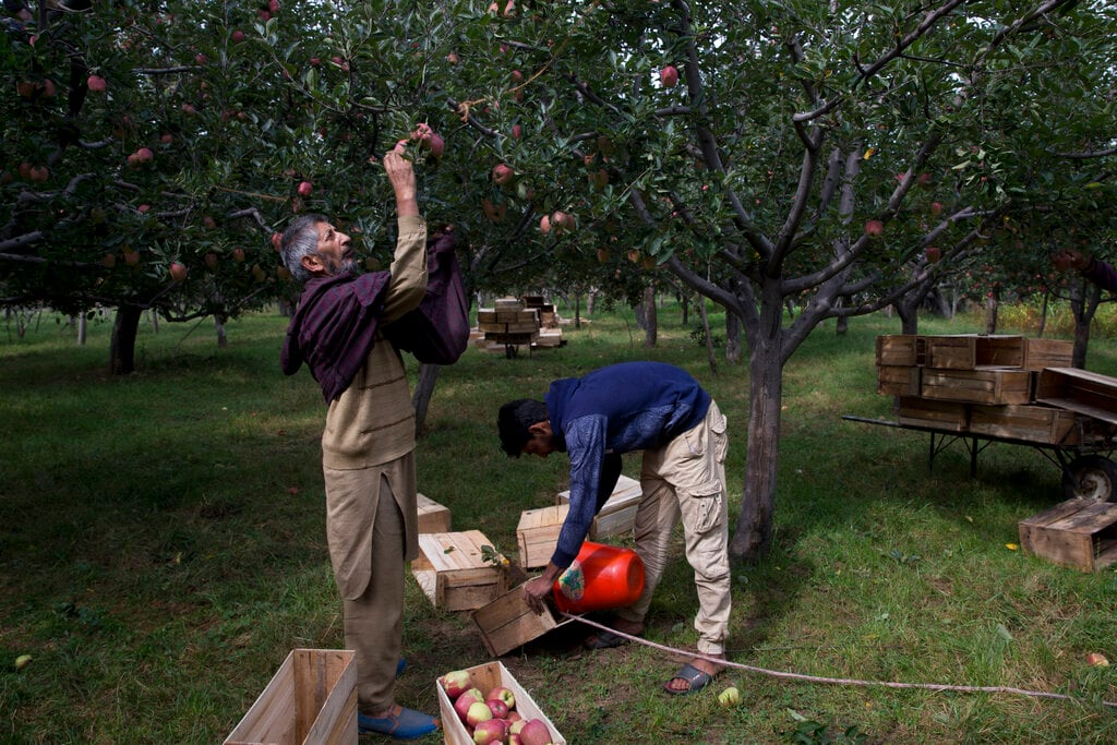 In this Sunday, Oct. 6, 2019, photo, a Kashmiri man plucks apples at an orchard in Wuyan, south of Srinagar, Kashmir. Kashmir's apple orchards, a backbone of the economy that supports nearly half the people living there, are deserted, crops rotting on the trees at a time when they should be bustling with harvesters. (AP Photo/Dar Yasin)