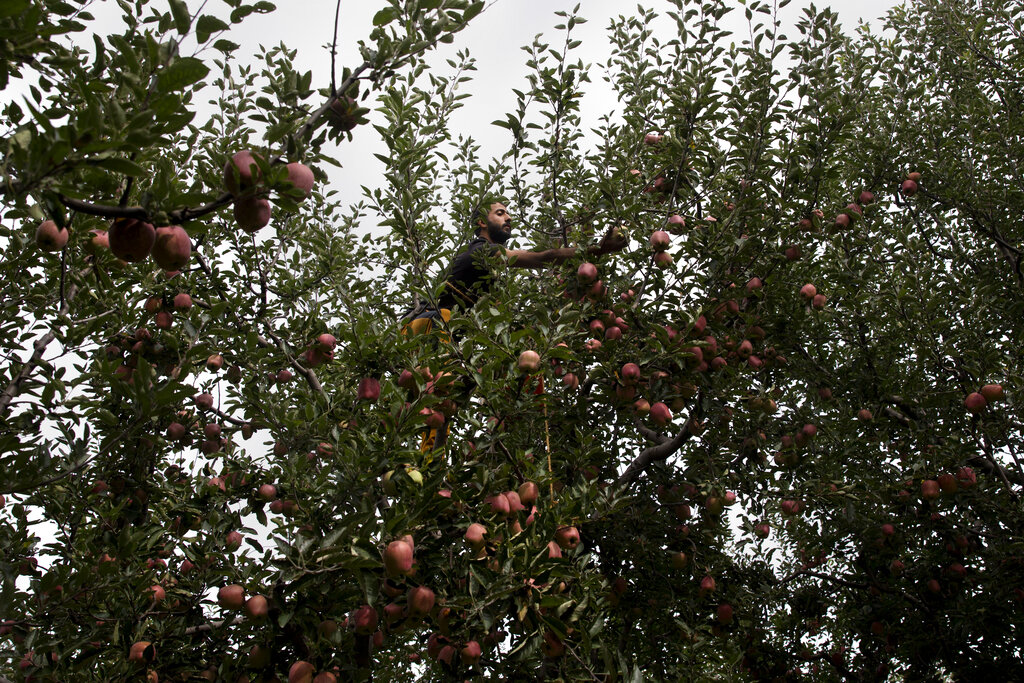 In this Sunday, Oct. 6, 2019 photo, a Kashmiri farmer Jamshed Ahmad plucks apples at his orchard in Wuyan, south of Srinagar, Kashmir. The apple trade, worth $1.6 billion in exports in 2017, accounts for nearly a fifth of Kashmir's economy and provides livelihoods for 3.3 million. This year, less than 10% of the harvested apples had left the region by Oct. 6. (AP Photo/Dar Yasin)
