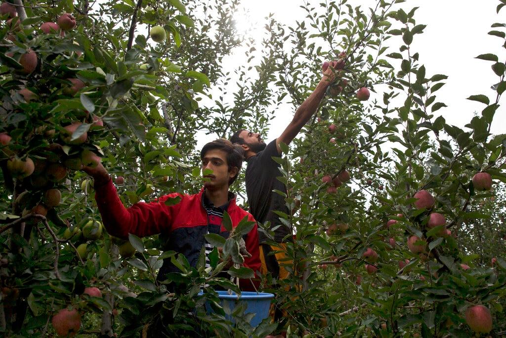 In this Sunday, Oct. 6, 2019 photo, Kashmiri pluck apples at an orchard in Wuyan, south of Srinagar, Kashmir. (AP Photo/Dar Yasin)