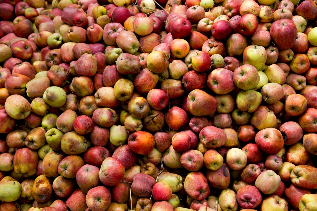 In this Sunday, Oct. 6, 2019 photo, a pile of rotten apples lie in an orchard in Wuyan, south of Srinagar, Kashmir. (AP Photo/Dar Yasin)