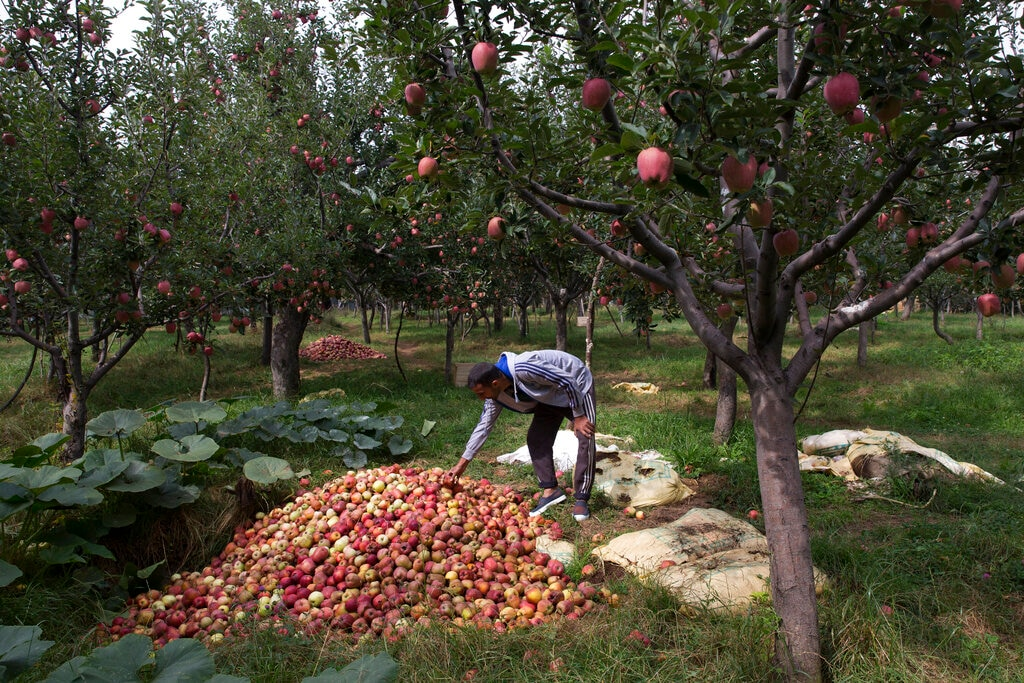In this Sunday, Oct. 6, 2019 photo, Kashmiri farmer Rayees Ahmad shows a pile of rotten apples inside his orchard in Wuyan, south of Srinagar, Kashmir. The apple trade, worth $1.6 billion in exports in 2017, accounts for nearly a fifth of Kashmir's economy and provides livelihoods for 3.3 million. (AP Photo/Dar Yasin)