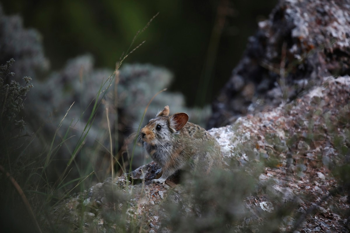 A Glover's Pika surveys its surrounding in Angsai, an area inside the Sanjiangyuan region in western China's Qinghai province. (AP Photo/Ng Han Guan)