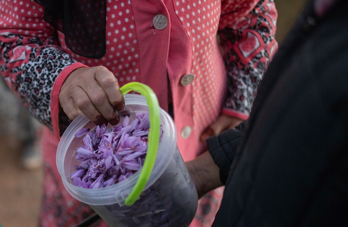 Villagers collect Saffron flowers at dawn during harvest season in Askaoun. (AP Photo/Mosa'ab Elshamy)