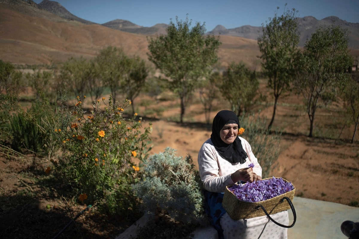 Fatima Aït Tahadousht, 50, displays a basket of freshly collected Saffron flowers during harvest season in Morocco's Middle Atlas Mountains. (AP Photo/Mosa'ab Elshamy)
