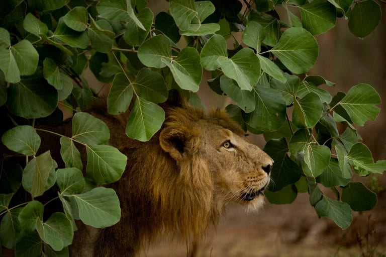 9 lions test COVID positive at Chennai zoo