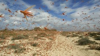Locust attack pose threat to flights, warns DGCA