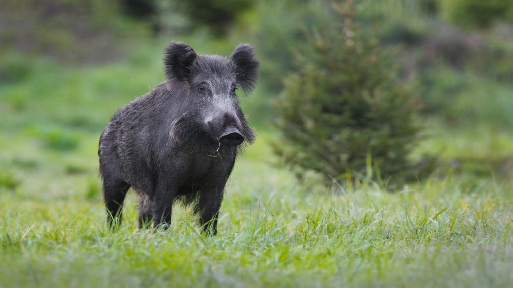 Wild pigs most damaging invasive species on Earth; releases emissions same as 1 million cars each year